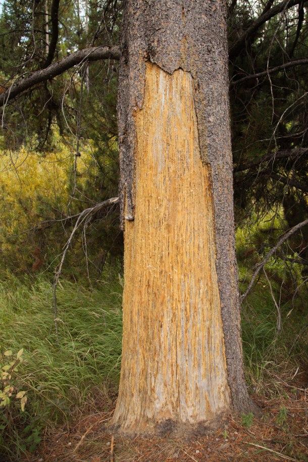 Bear scrape, August 28, 2013