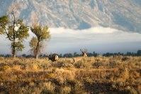 Mule deer, August 29, 2013