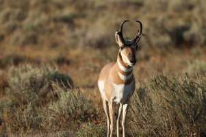 Pronghorn, September 12, 2013