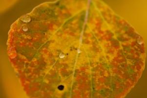 Aspen leaf, September 27, 2013