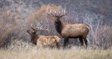 Bull elk, October 9, 2013