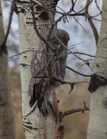 Great grey owl, October 9, 2013