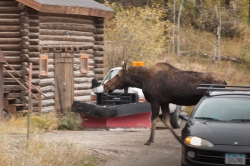 Moose on Kelly Campus, October 13, 2013