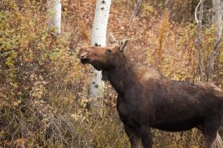 Moose eating Wild Rose, October 13, 2013