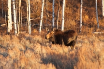 Cow moose browsing at sunset, October 21, 2013