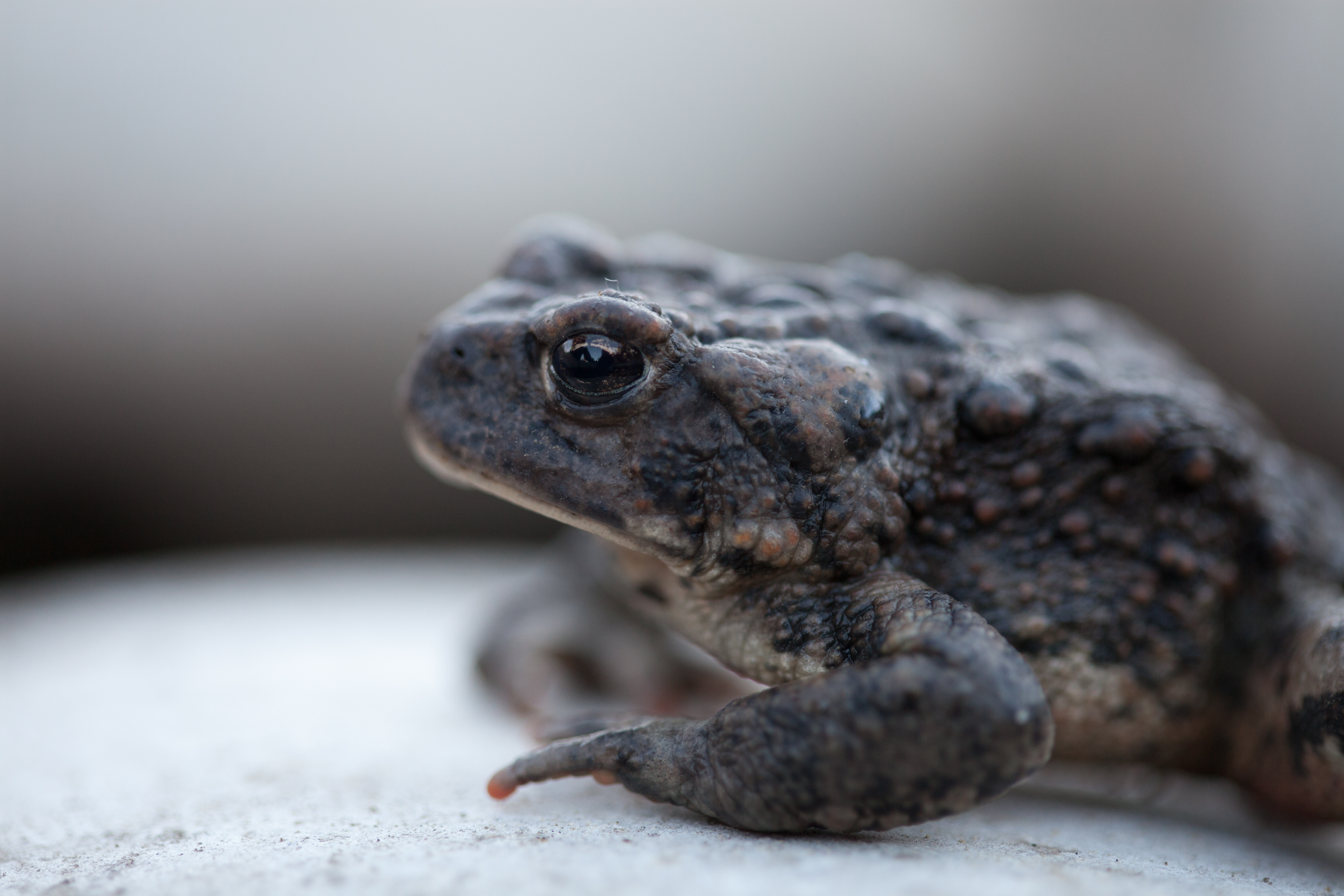 Species account boreal toad 6653 ft boreal toad october 26 2013 sciox Choice Image