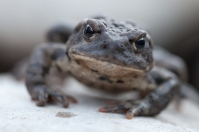 Boreal toad, October 26, 2013