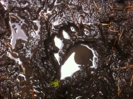 Black bear tracks, September 1, 2013