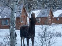 Cow moose, December 18, 2013