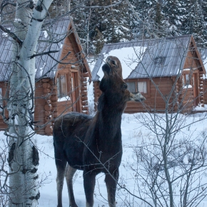 Moose morning