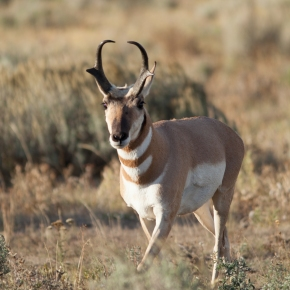 Winter Life: Pronghorn