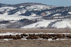 Bison, December 16, 2013