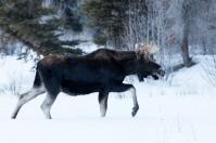 Moose, January 18, 2014