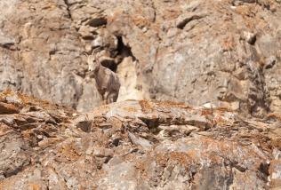 Juvenile Bighorn sheep, February 2, 2014