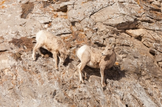 Juvenile Bighorn sheep, February 2, 2014