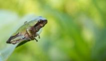 Gray tree frog, July 12, 2012