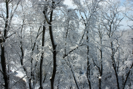 Snow covered trees, December 3, 2012