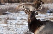 Elk, December 1, 2013
