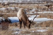 Bull elk, December 1, 2013
