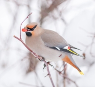 Bohemian waxwing eating rose hips, February 13, 2014