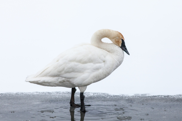 Trumpeter swan, February 22, 2014