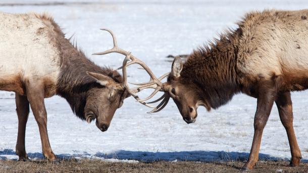 Sparring elk, February 26, 2014