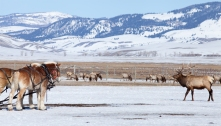 National Elk Refuge, February 26, 2014