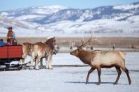 Bull elk, February 26, 2014