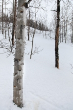Aspen tree, March 5, 2014