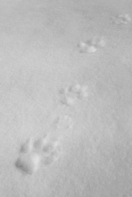 Wolf tracks, March 6, 2014