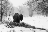 Lone bison, March 30, 2014
