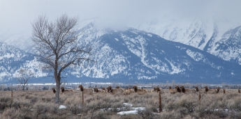 Migrating Elk, April 1, 2014