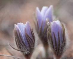 Pasquet flower, April 24, 2014