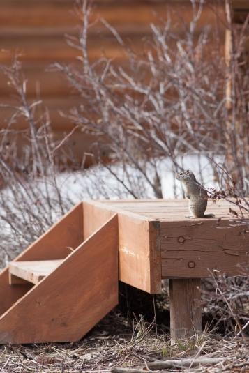Uinta ground squirrel, April 25, 2014