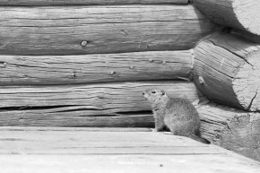 The martin and the groundsquirrel