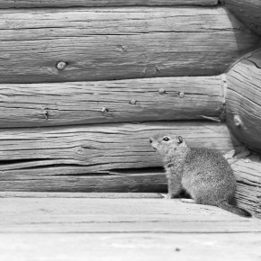 The martin and the ground squirrel