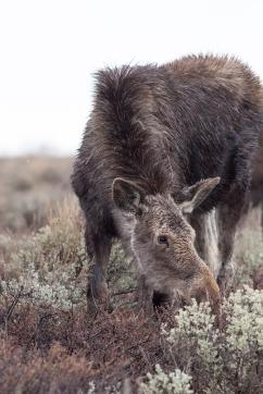 Mangy moose, April 26, 2014