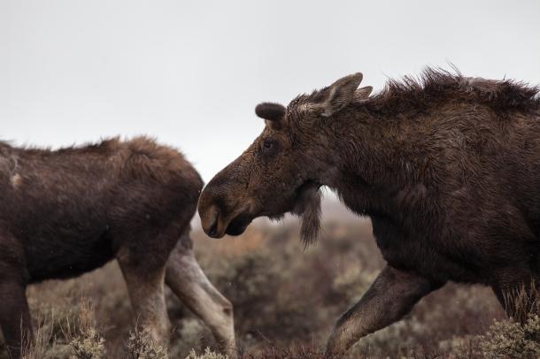Moose migration, April 25, 2014