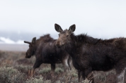 Young moose, April 26, 2014