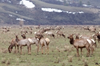 Elk migration, April 25, 2014
