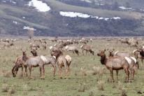 Elk migration, April 25, 2014