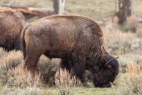 Bison migration, April 25, 2014