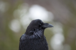 Raven, May 9, 2014