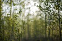 Aspen grove, May 25, 2014