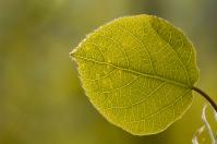 Aspen leaf, May 25, 2014