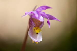 Fairyslipper, June 3, 2014