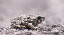 Baby boreal toad, June 11, 2014