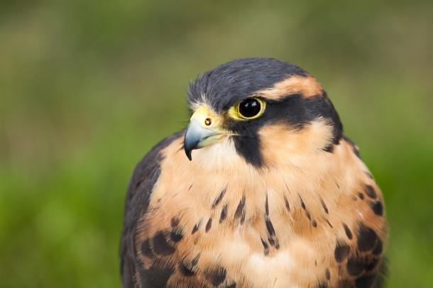 Peregrine falcon, June 16, 2014