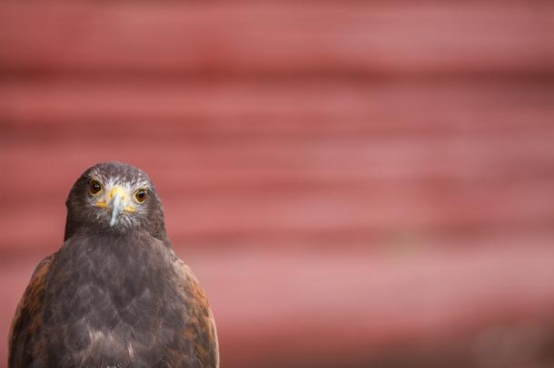Haris's Hawk