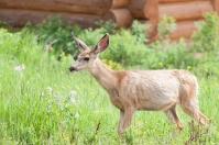 Mule Deer, July 1, 2014